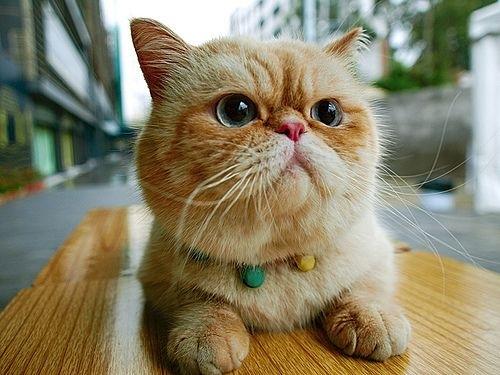 jenis kucing baik untuk anak-anak