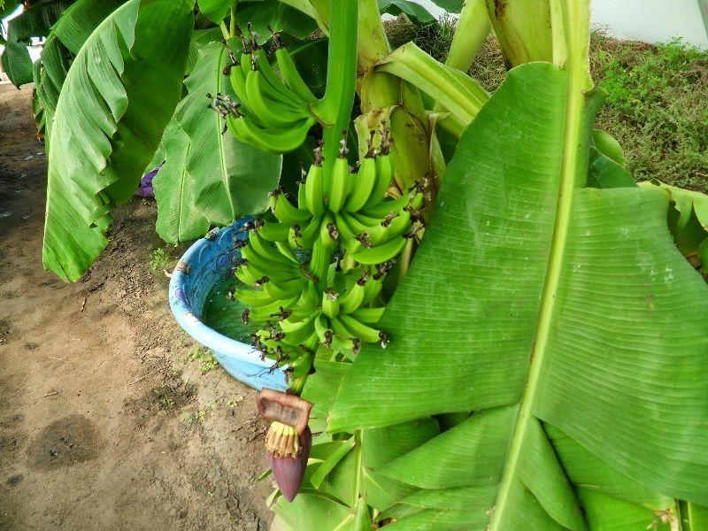 Gambar Jenis Pohon Pisang Pendek Williams Hybrid Banana Berbuah