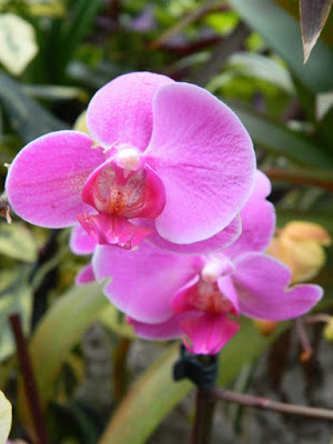 Moth Orchid Phalaenopsis hybrid at the Allan Gardens Conservatory 2016 Spring Flower Show by garden muses-not another Toronto gardening blog