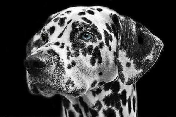 Dalmatian dog breeds dogs breeds; puppirs temperament facts puppies for sale  mix chihuahua mix price breeders usa uk rescue  size dog shedding fawn ohio shaved