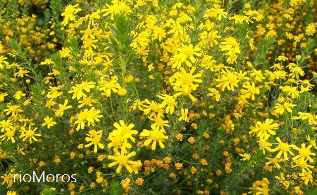 euriops, euriops de miel Euryops virgineus