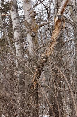 a woodpecker favorite