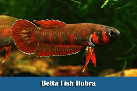 Mengenal Jenis-Jenis Ikan Cupang Terlengkap ...