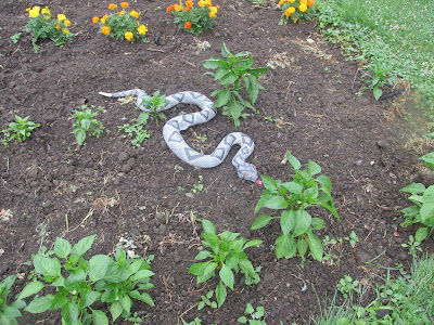 Grandson's snake in my pepper plants-Vickie's Kitchen and Garden