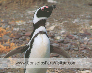 Pingüino en enero, el verano de Ushuaia en el circuito del canal del Beagle.