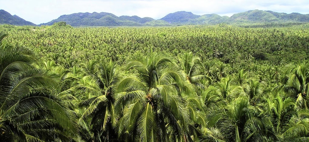 """Export Portal: Coconut, the """"Tree of Life""""  Philippines"""