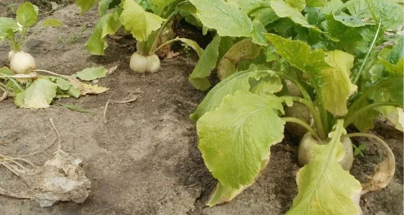 Como germinar semillas de NABO en casa.