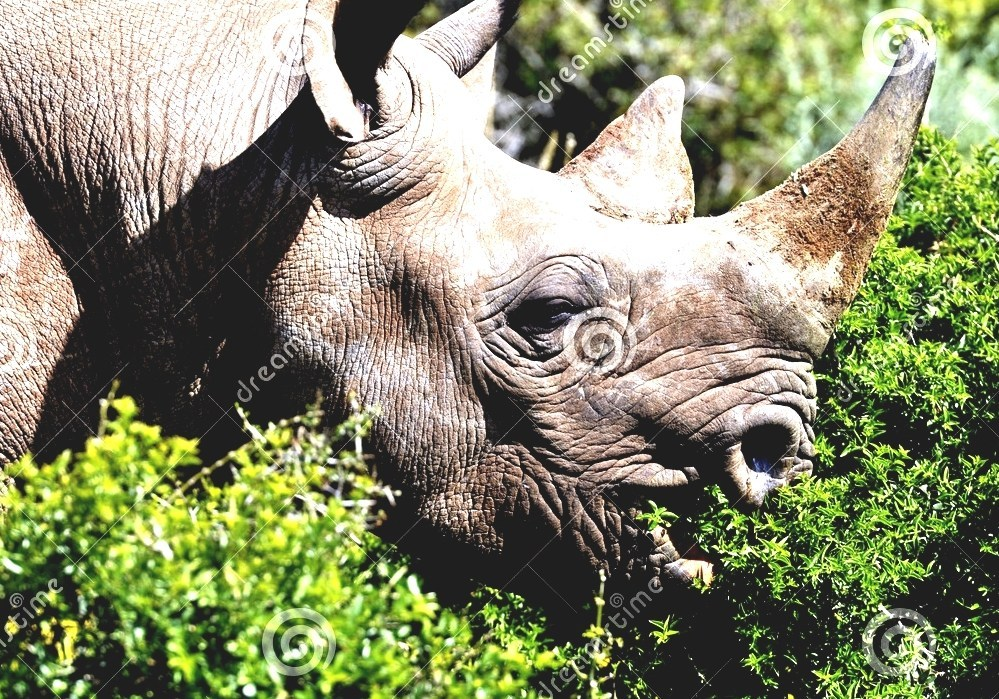 Black Rhinoceros - Rhino Diet