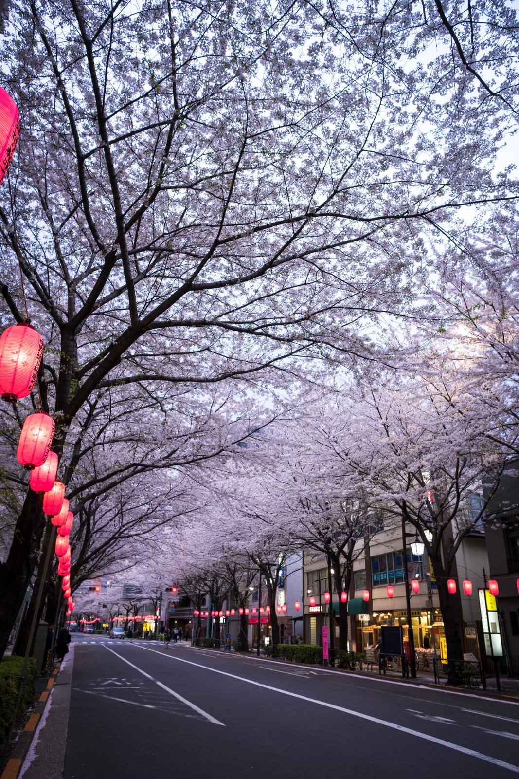 中野区中野通りの桜の写真