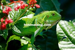 iguana Hewan Peliharaan Lucu di Rumah yang Mudah Dipelihara dan Murah
