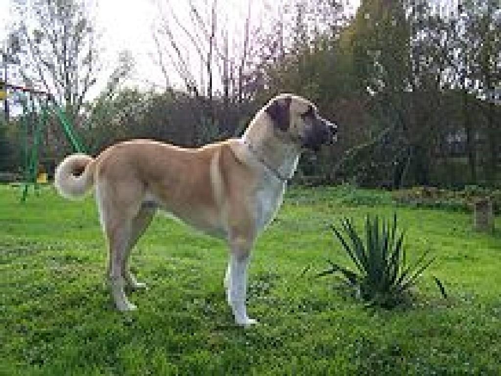 Cute Dogs Anatolian Shepherd Dog