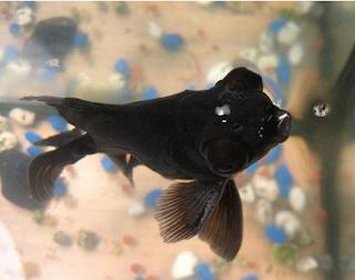 Inilah Jenis Ikan Koki Beserta Gambar Ikan Koki Black moor
