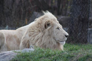 White Lion Male.