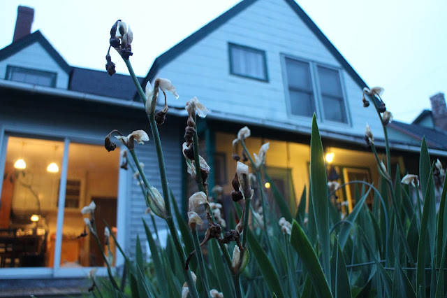 maine garden, dead iris flowers, old iris blooms, bearded iris