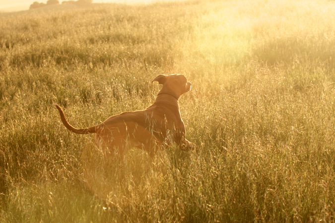 Notes from the Pack - a dog blog. Stella the Rhodesian Ridgeback in the sun.