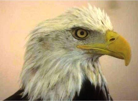 A Renovação Da águia Pregações E Estudos Bíblicos