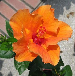 Malaysia's national flower the hibiscus or bunga raya