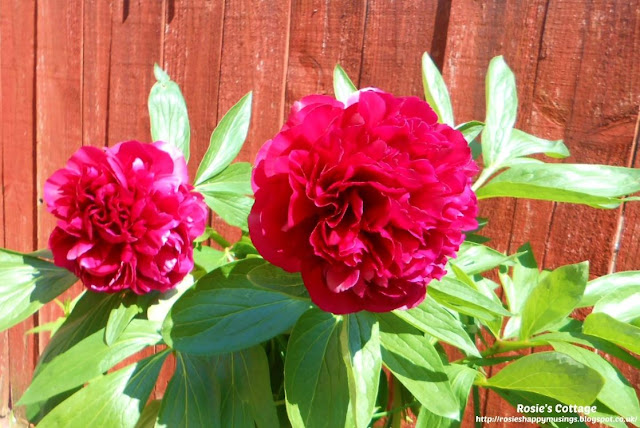Being blessed by our garden: I feel truly spoiled this year by our precious peonies...