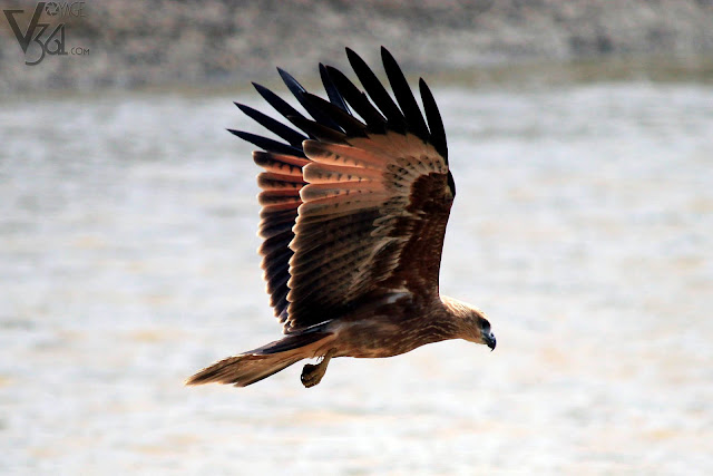 Juvenile Brahminy Kite or Garuda in flight