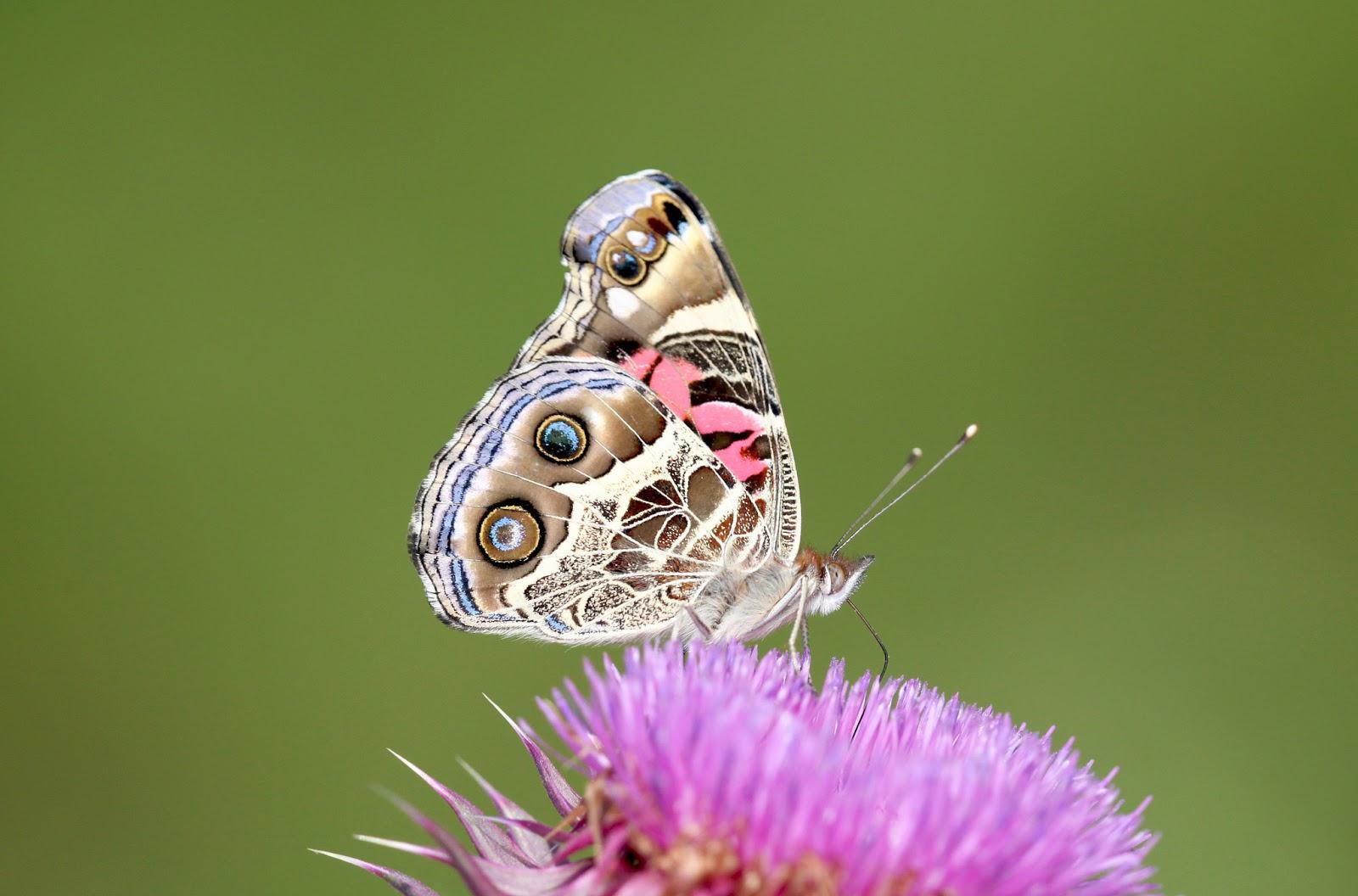 Hình nền đẹp con bướm có màu sắc lung linh