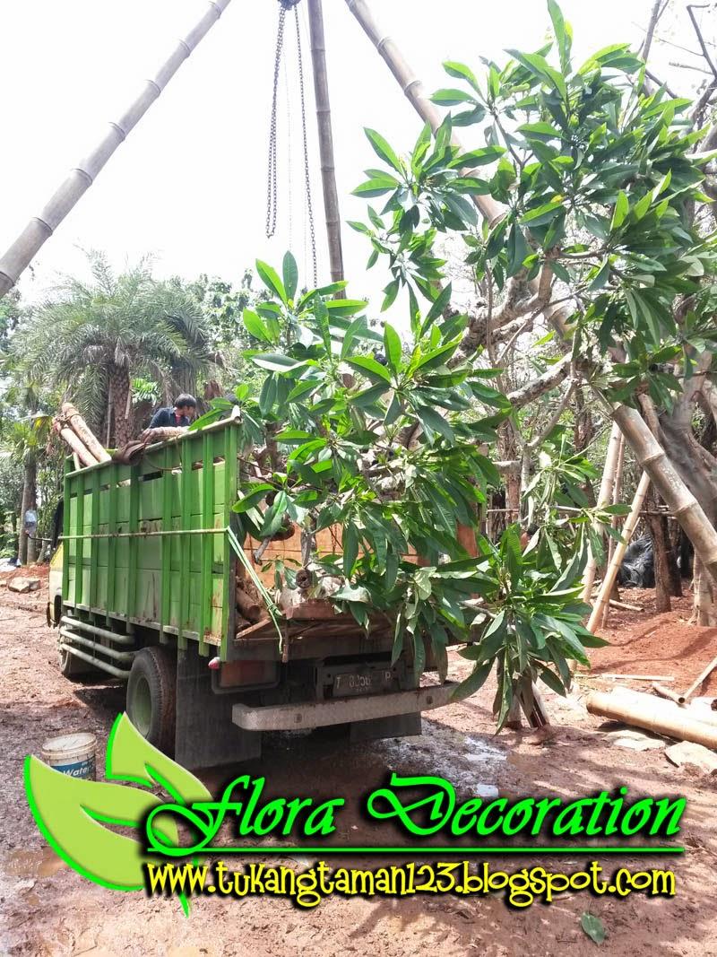 jual pohon kamboja batang besar bunga merah kecap murah, kamboja fosil, kamboja bali, kamboja ping,tukang taman berpengalaman, suplier rumput taman, suplier kamboja, suplier tanaman hias, suplier tanaman pelindung