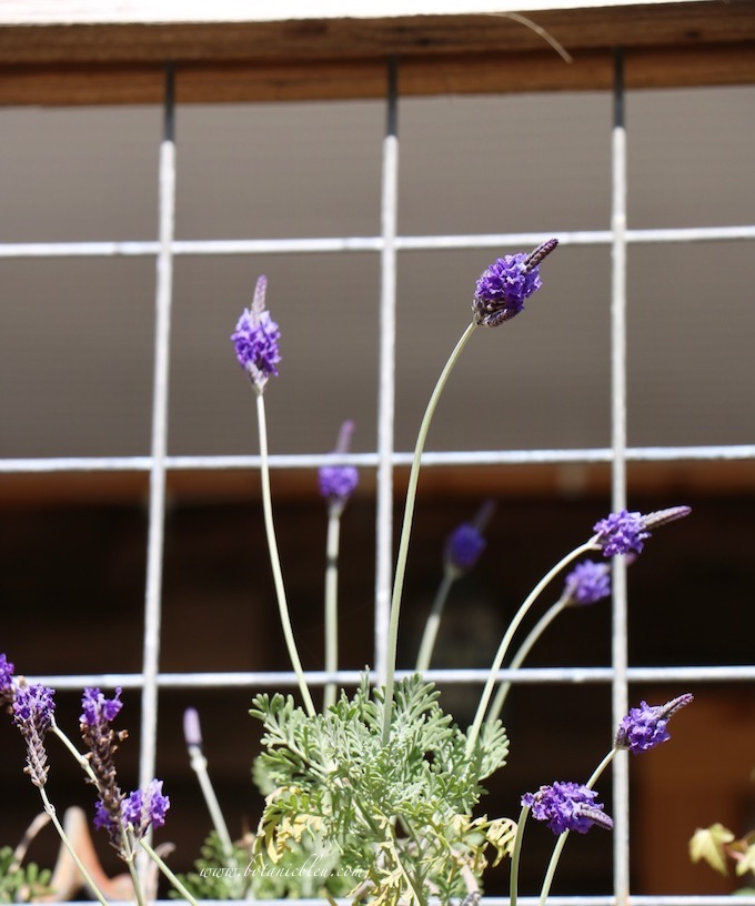 French Lavender Blooms in Winter