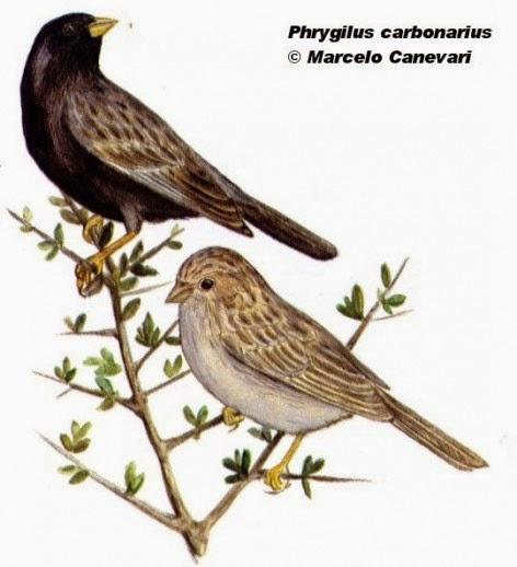 Comesebo carbonero, Phrygilus carbonarius
