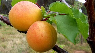 buah aprikot