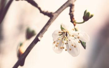 Wallpaper: Nature. Spring. Flowers. Cherry Blossom