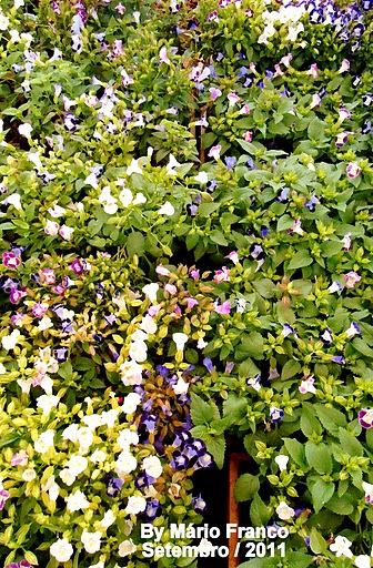 Onde encontrar TORÊNIA - ( Torenia fournieri )