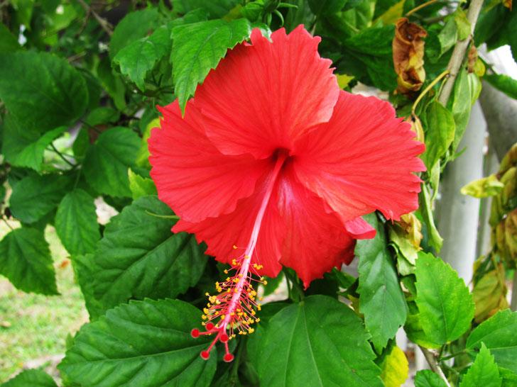 daun daunan apotik hidup untuk herbal daun bunga raya