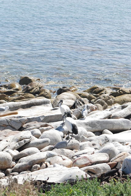 birds on beach at Kommetjie, South Africa