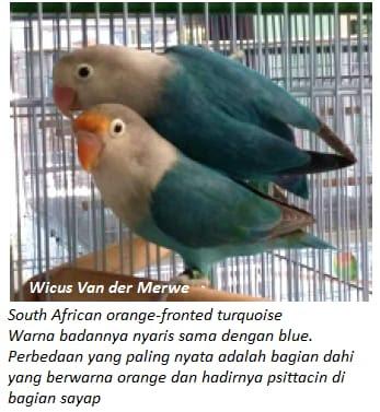 Fenotipe ini sudah muncul sekitar tahun  Sukses Dalam Burung Lovebird Selamat Datang Mutasi Baru Lovebird