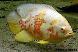 Ikan Hias Oscar Dan Macam Jenisnya