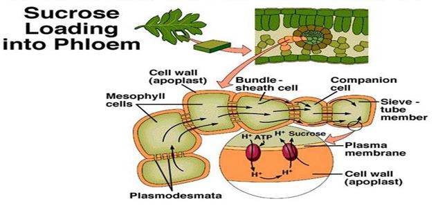 translocation in plants xylem phloem Xylem And Phloem In Plants