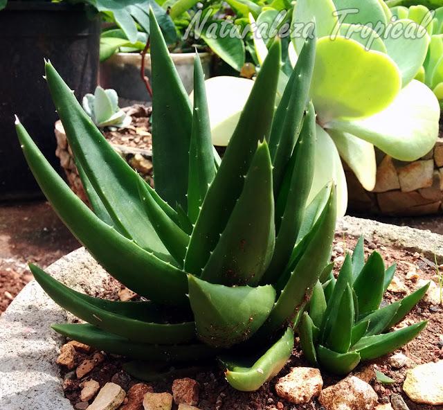 Hijuelos basales en la planta suculenta Alworthia 'Black Gem'