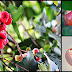 Health Benefits And Medicinal Uses Of Makopa (Rose Apple)