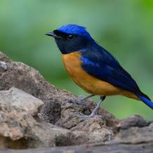 Cara Merawat Burung Tledekan Stress Dan Ngedrop