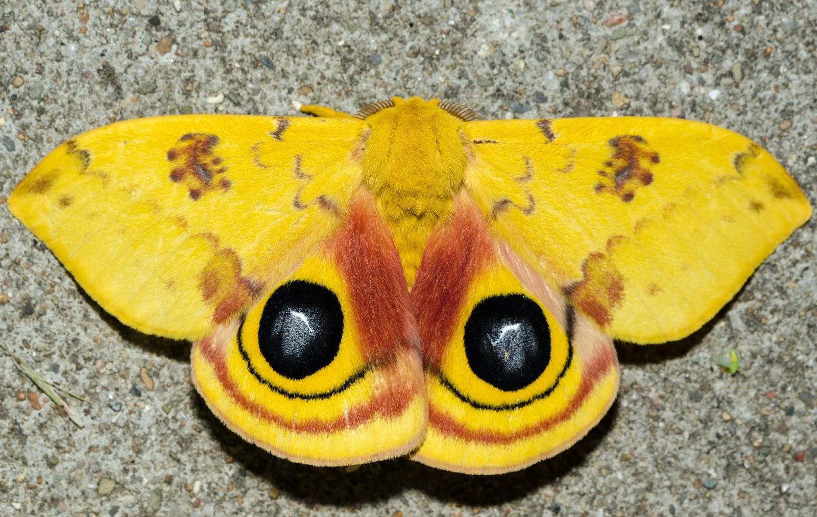 Io Moth (Automeris io) Ohio