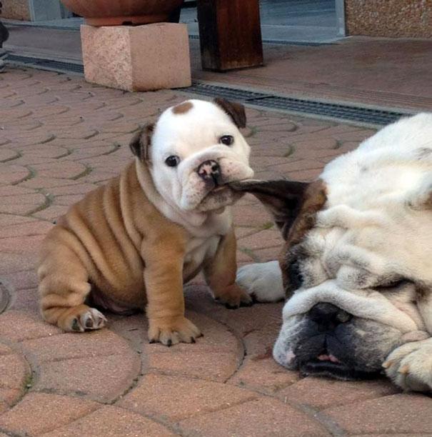 bulldog-puppy-cute-dog-photography-1