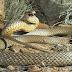 Έχει γεμίσει η Ελλάδα φίδια. Δείτε τι πρέπει να κάνετε μόλις δείτε φίδι…