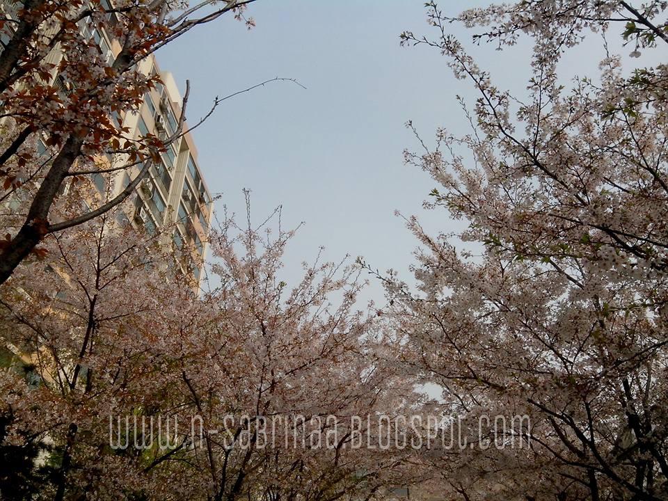 tips ke korea musim bunga