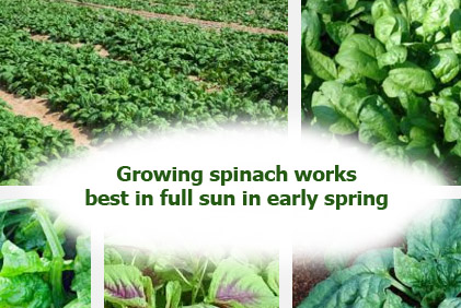 Spinach benefits side effects 2