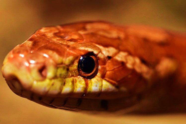 Zehirli yılanları gözleri kedi gözü gibi olur, zehirsiz yılanların göz bebekleri yuvarlaktır.