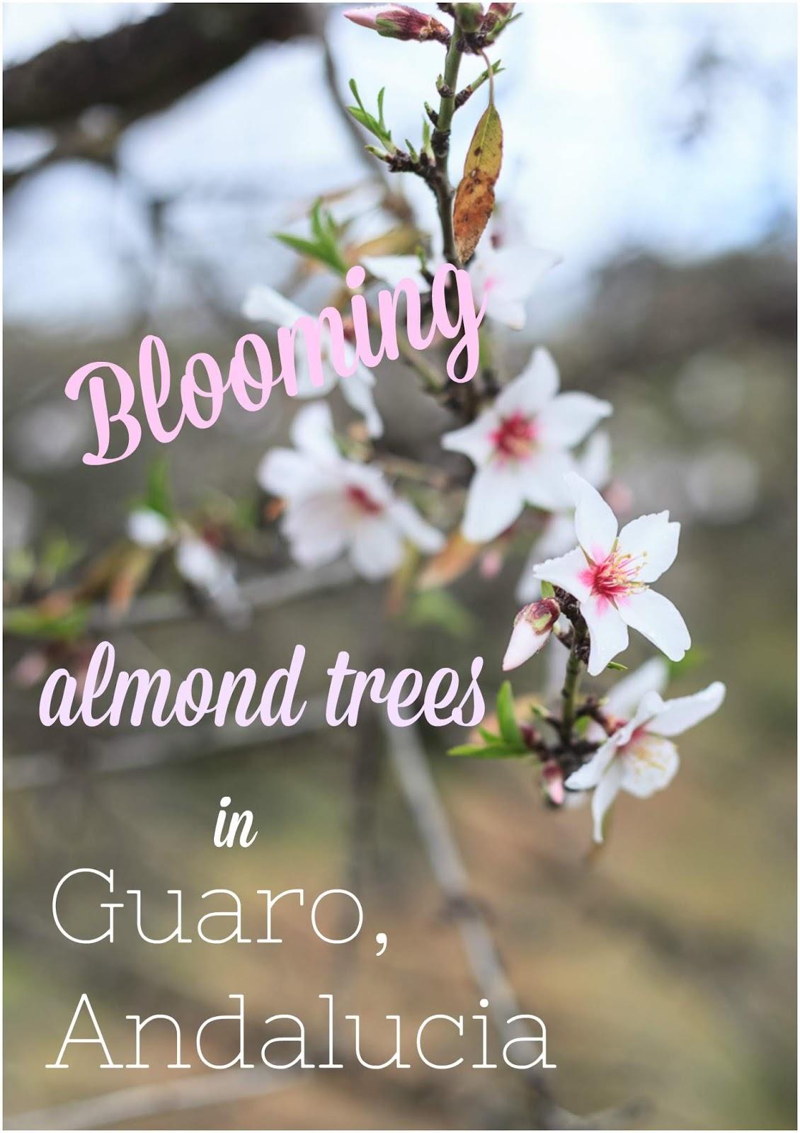 Blooming almond trees in Guaro