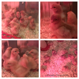 Baby Chickies