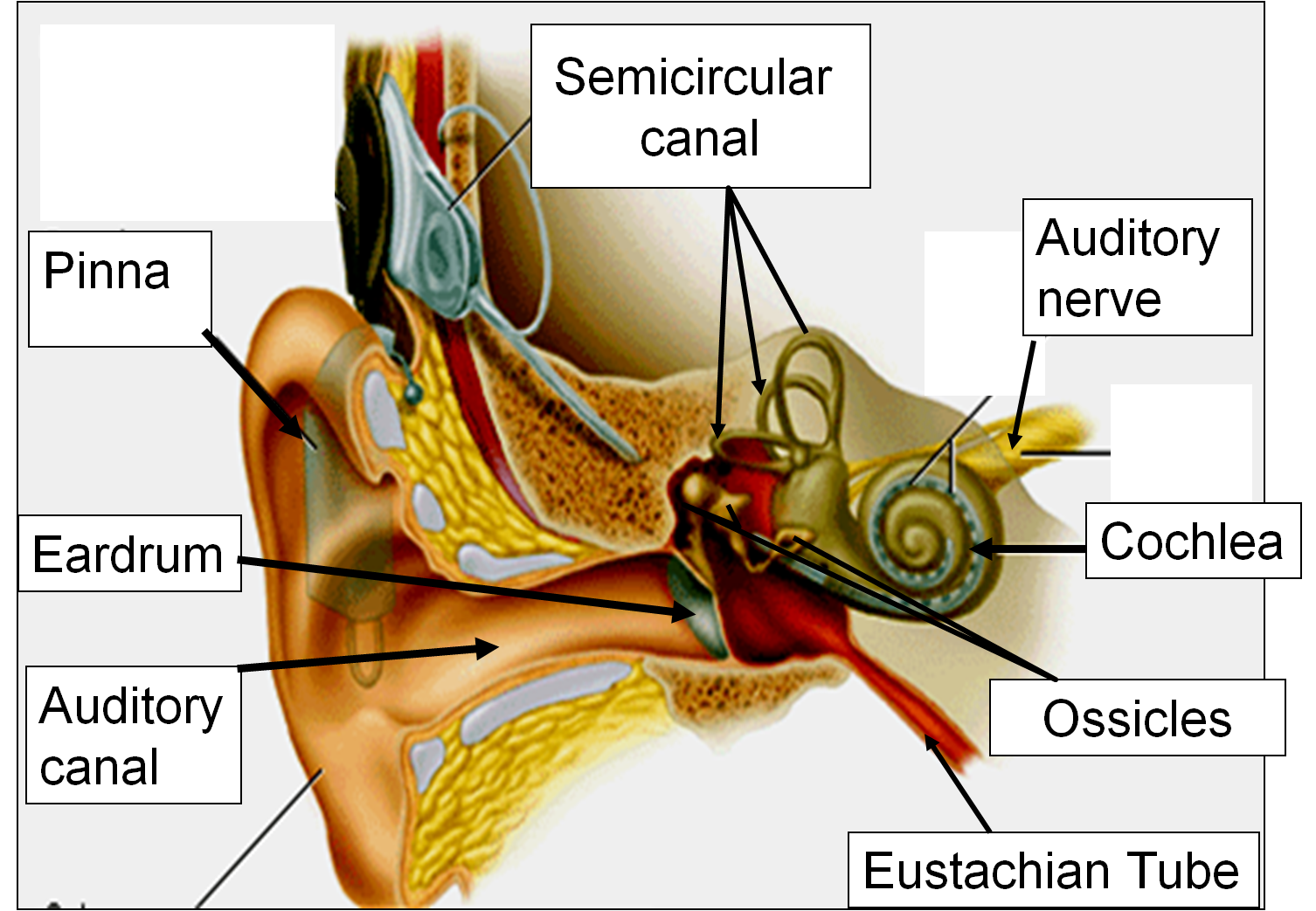 Ear Diagram Labeled Function Weg Motor Capacitor Wiring 1 2 Sense Of Hearing Msciencebuzz