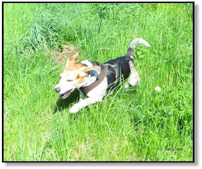 schneller Beagle