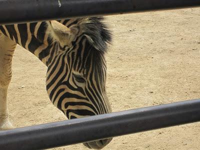 神戸市立王子動物園 シマウマ