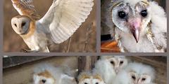 Barn Owl Aka Tyto Alba